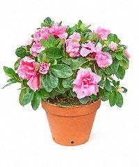 Живые цветы в горшках доставка по москве доставка цветов букетов в николаеве