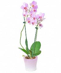 Стоимость орхидеи в горшке