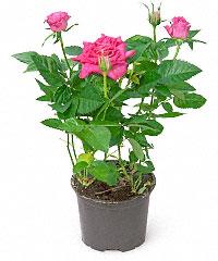 Купить комнатные цветы в красноярске дешево заказ каталога цветов и растений