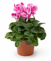 Живые цветы горшках москва где купить цветы мытищах